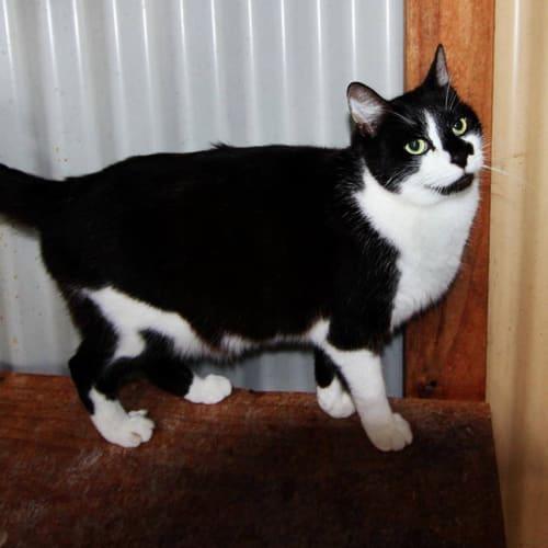 Karma - Domestic Medium Hair Cat