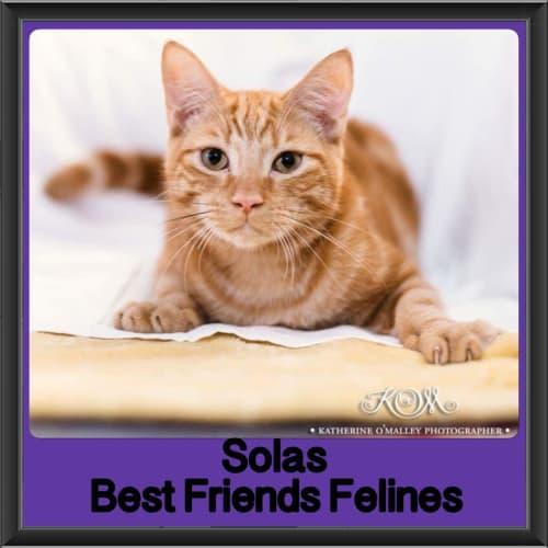 Solas  - Domestic Short Hair Cat