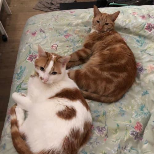 Ari & Geri - Domestic Short Hair Cat