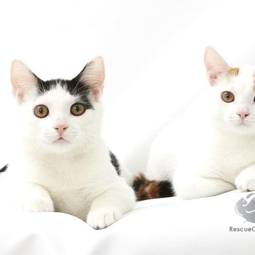 Willow & Arrow - Domestic Short Hair Cat