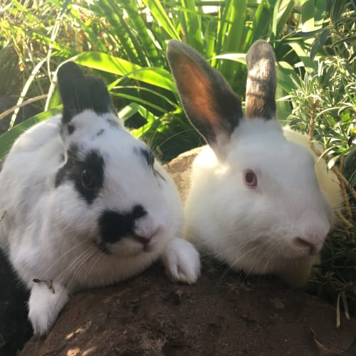 Inglis & Burgess  - Dwarf Rabbit