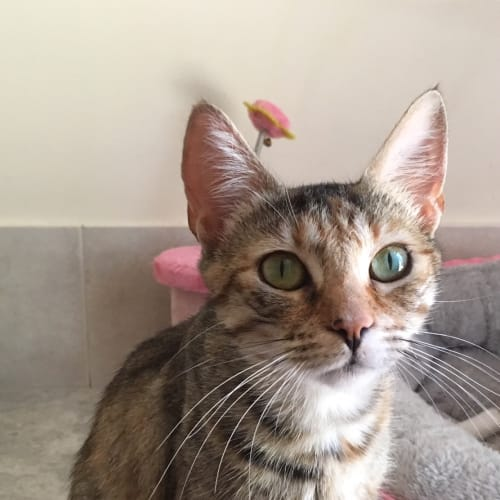Lina - Domestic Short Hair Cat