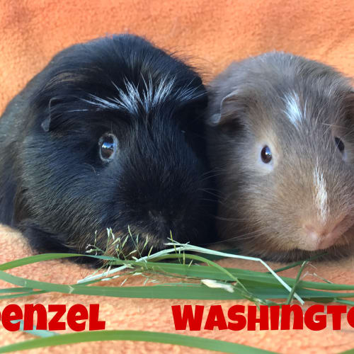 Denzel & Washington -  Guinea Pig