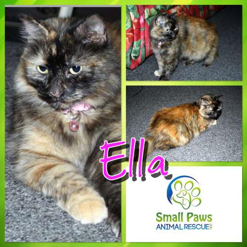 Ella - Ragdoll Cat