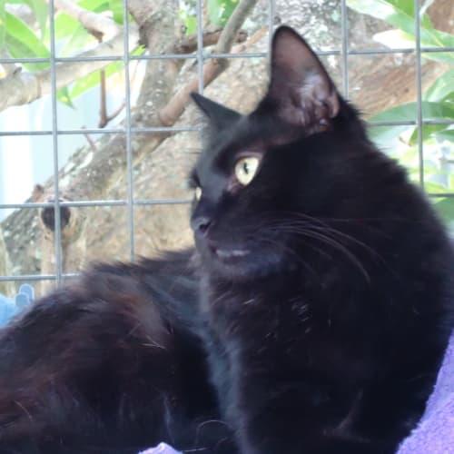 Franco - Domestic Short Hair Cat