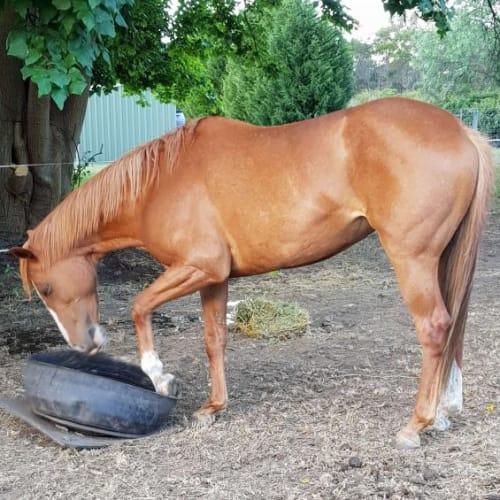 Josie -  Horse
