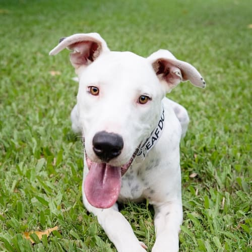 York - Bull Arab x Greyhound Dog