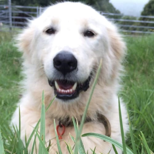 Benson  - Maremma Sheepdog