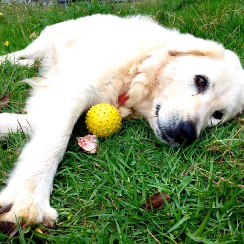 Bonney - Maremma Sheepdog
