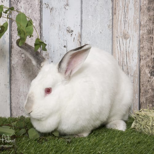 Snowy & Chip - Domestic Rabbit
