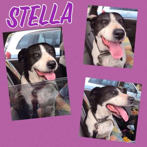 Stella - Bull Arab Dog