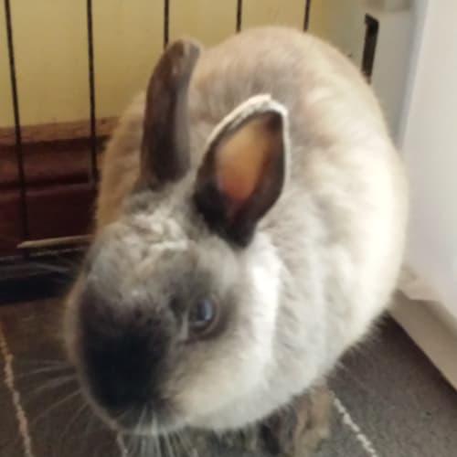 Hoppity - Netherland Dwarf Rabbit