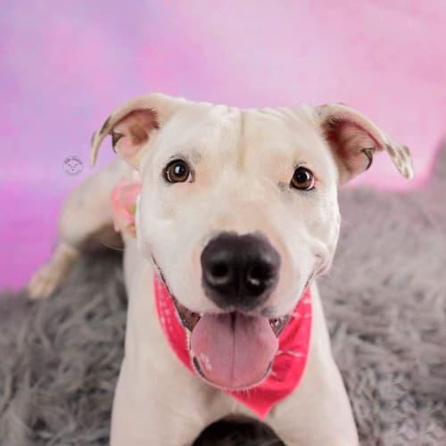 Freena - Staffordshire Bull Terrier Dog