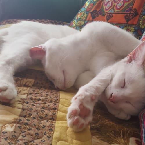 Casper and Spook  - Domestic Short Hair x Oriental Cat