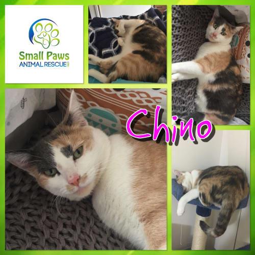 Chino - Domestic Short Hair Cat
