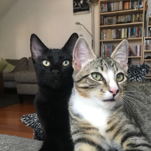 Mr. Squirrel and Bertie - Domestic Short Hair Cat
