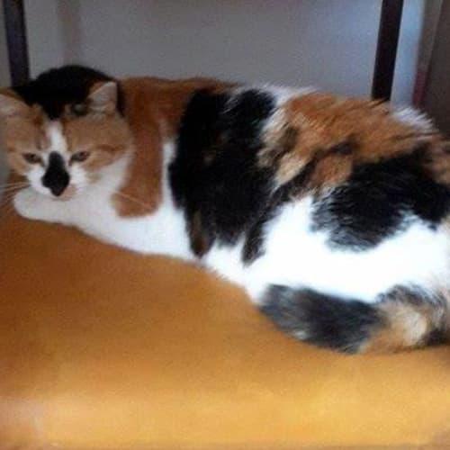 Coral - Domestic Medium Hair Cat