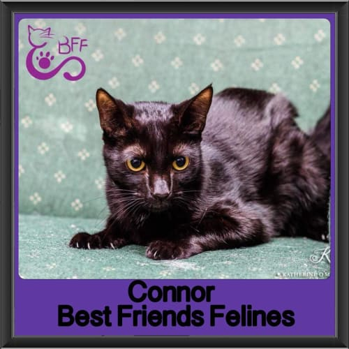 Connor  - Domestic Short Hair Cat