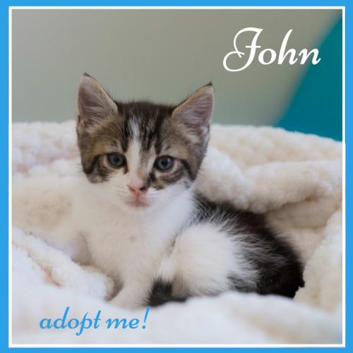 John ~ Kitten - Domestic Short Hair Cat