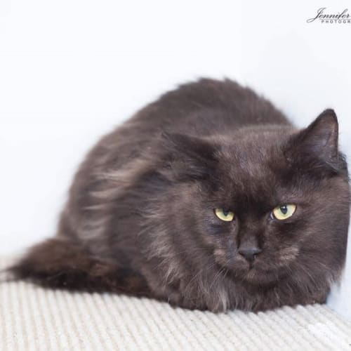 AK1648 - Ross - Domestic Medium Hair Cat