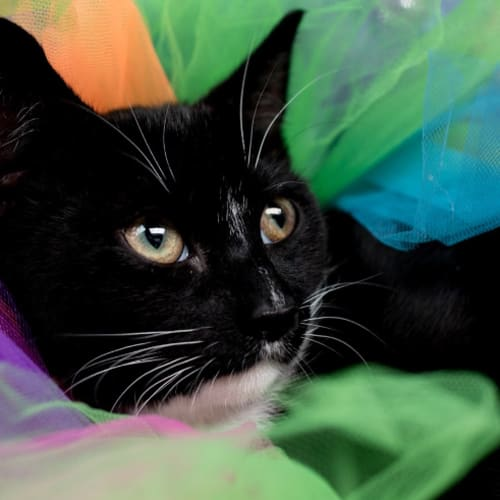Absinthe - Domestic Short Hair Cat