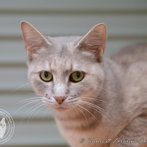 Callisto - Domestic Short Hair Cat
