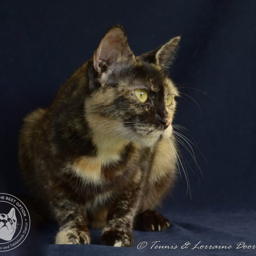 Camelot - Domestic Short Hair Cat