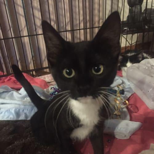 Chester MC0061 - Domestic Short Hair Cat