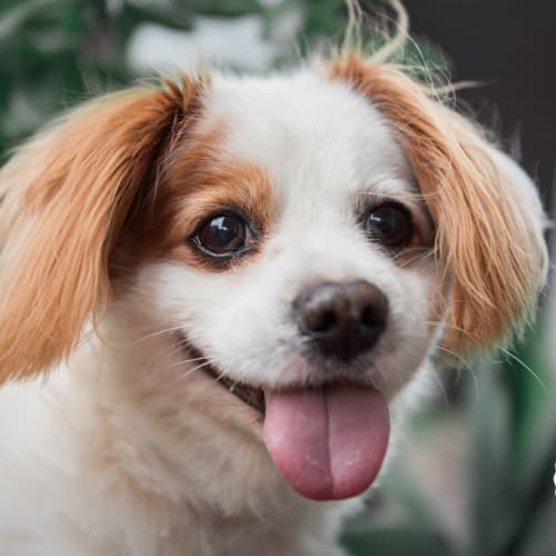 Joss Clarimond - Cavalier King Charles Spaniel x Maltese Dog