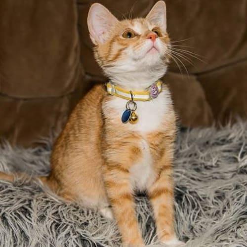 Wil - GC0034 - Domestic Short Hair Cat