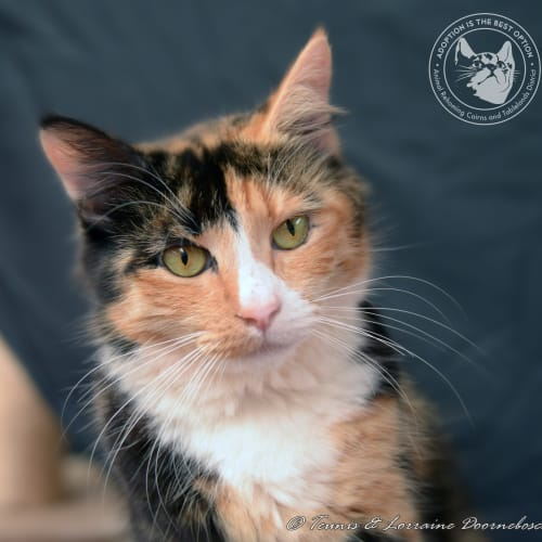Felicity - Domestic Medium Hair Cat