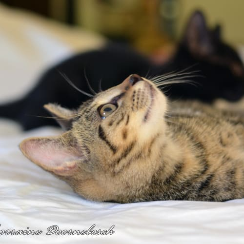 Gloria and Gerrard  - Domestic Short Hair Cat