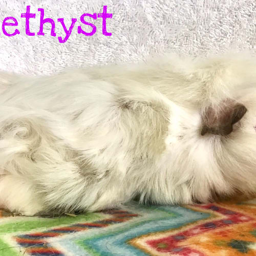 Amethyst - Abyssinian Guinea Pig
