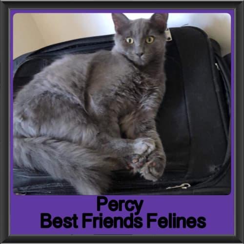 Percy  - Domestic Medium Hair Cat