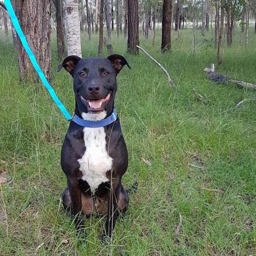 Buddy - Kelpie x Labrador Dog