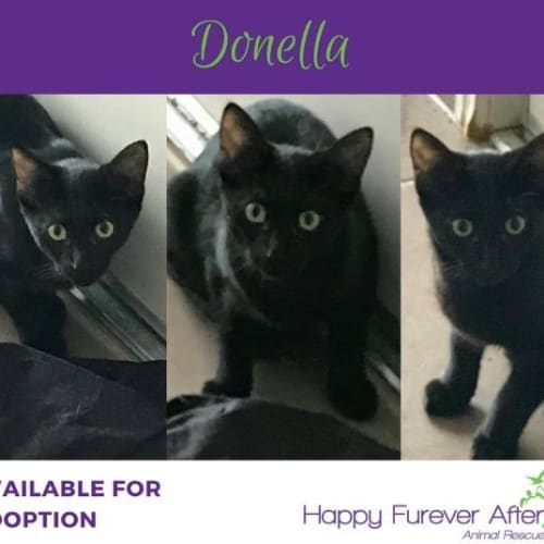 Donella - Domestic Short Hair Cat