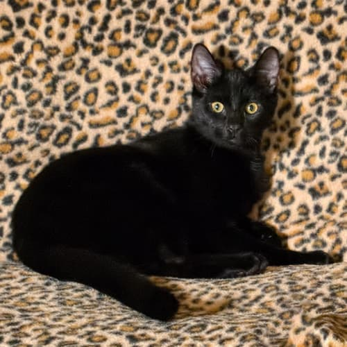 Doug E1466 - Domestic Short Hair Cat