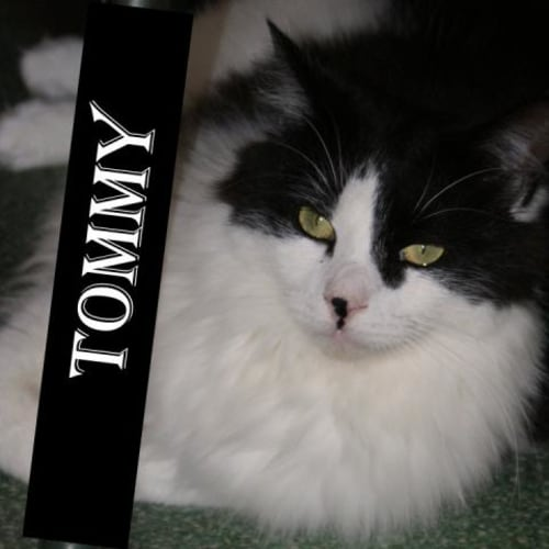 Tommy - Domestic Medium Hair Cat