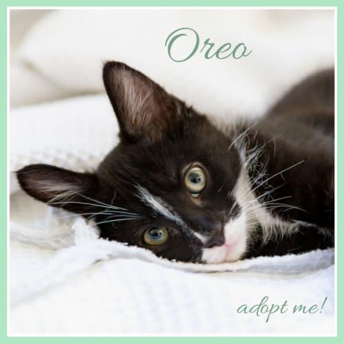 Oreo ~ Kitten - Domestic Short Hair Cat