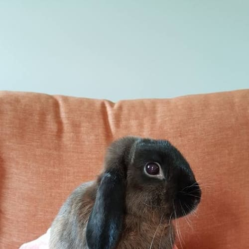 Lulu  - Lop Eared x Mini Lop Rabbit