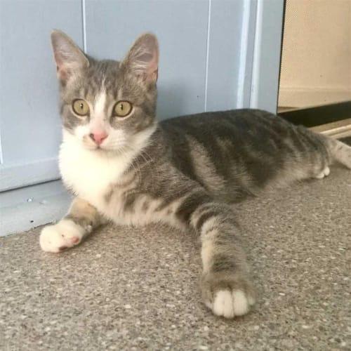 Joseph - Domestic Short Hair Cat