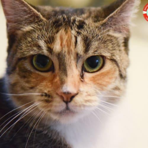 Annie - Domestic Short Hair Cat