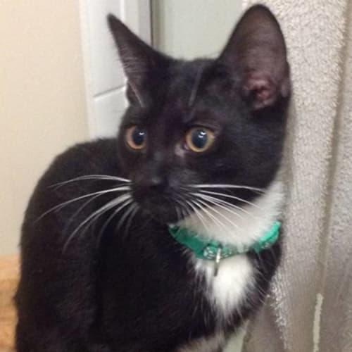 Ludo - Domestic Short Hair Cat