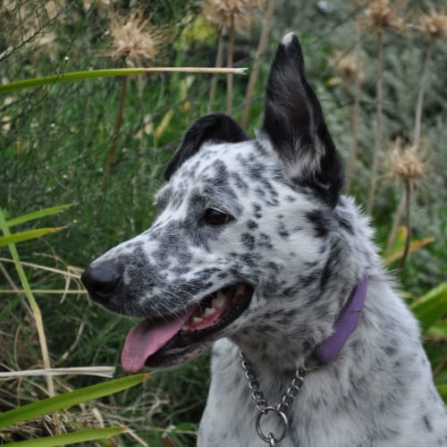Duke - Blue Heeler Dog