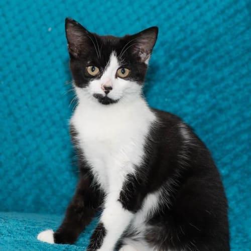 Amelia - GC0050 - Domestic Short Hair Cat