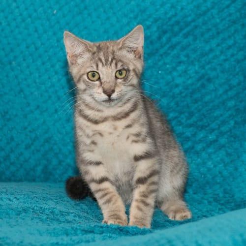 KC - GC0055 - Domestic Short Hair Cat
