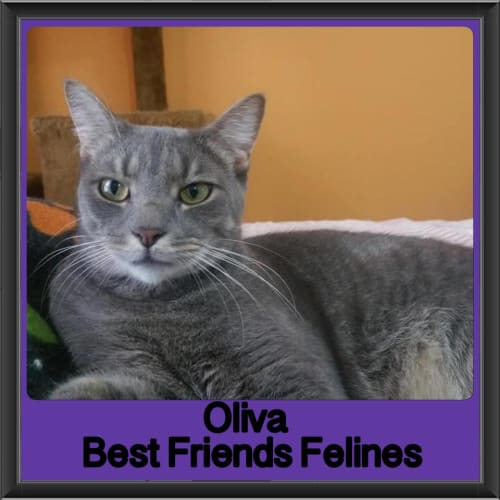 Oliva - Domestic Short Hair Cat