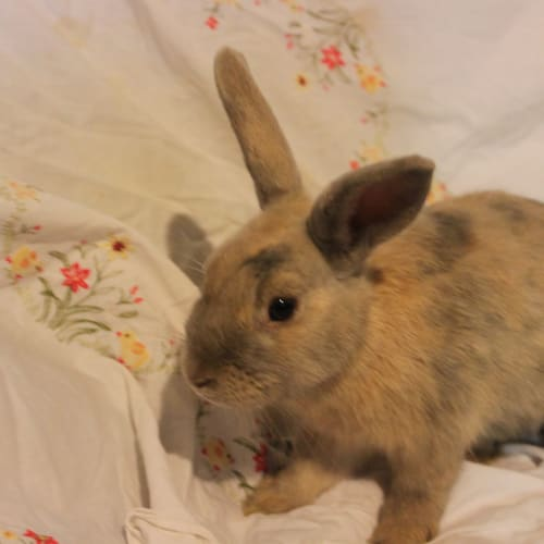 Jonine  - Domestic Rabbit