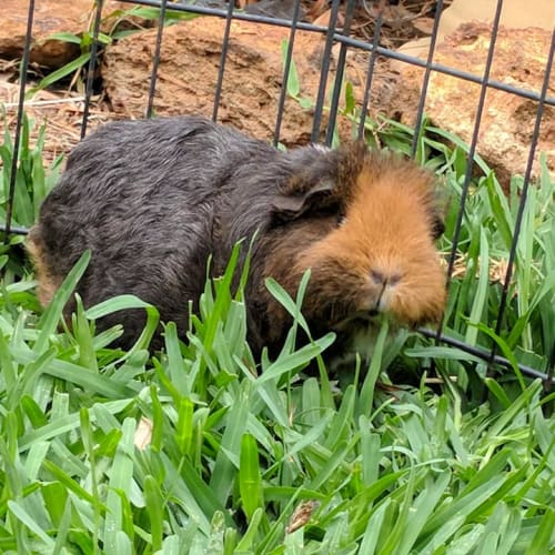 Carrots and Rhubarb - Smooth Hair x Texel Guinea Pig