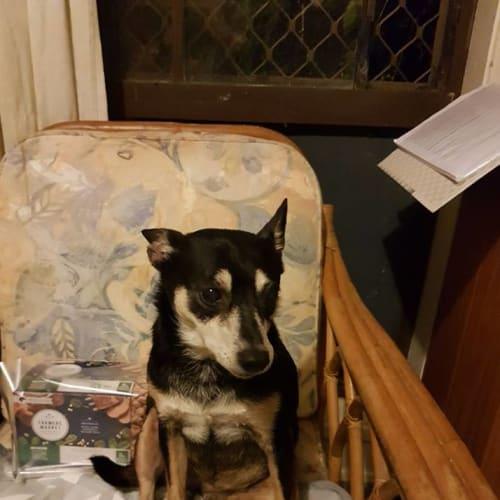 Pippa - Fox Terrier Dog